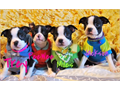 Boston terrier puppies for sale  I have a Beautiful litter of Boston Terrier Pupsall males 4 curr