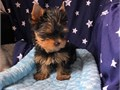 lovely male and female yorkie puppies looknig for new and loving homes for them pm for more info or