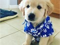 Golden Retriever Puppies for SaleParents are both AKC registered and puppies will come with their