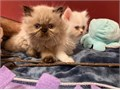 Pure breed Persian kittens four white and one grayblack There are two males and three females on