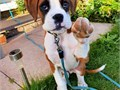 SHELBY 7wks old Check out this playful energetic family raised akc puppy She is vet checked up