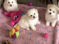 The puppies are brought up with my children and are fed on Royal Canin and you w