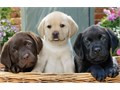 Pups are being raised in our loving home with our children and are socialized ac