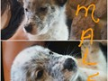 PUREBRED AUSTRALIAN CATTLE DOG PUPPIES35000 FEMALE30000 MALE8 weeks old on 829text to see