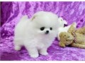 Adorable Pomeranian Puppies AvailableExtra Charming Teacup Pomeranian puppies now available They