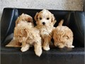 Charming Maltipoo puppies for sale all read and available to leave for their new homes FORM MORE IN
