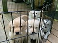 Amazing Labrador retriever puppies for sales these puppies are really the best they loving play an