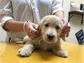 AKC Light Golden retriever puppy 8 wks old family raised indoors w kids Ready to go home today co