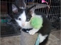 Checkers  is a 16 old beautiful Black and White Tuxedo Bi-Color male rescue kitten He has a full