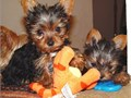 Cute teacup Yorkies available for adoption presently 11 weeks old up to date on shots and comes with