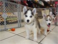 We got two adorable AKC blue eyes siberian husky puppies 10 weeks old They are brindle and white