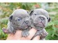 We are rehoming our 12 WEEKS old FRENCH bulldog PUPPIES There are fixed and potty trained and great