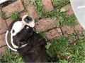 AKC Boston Terrier male Not neutered Very friendly and affectionate Brindle color Call or text 4
