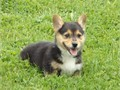 Tri color Pembroke Welsh Corgi puppy for sale 500 each All we really want is a good home for the