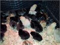 chicks available now Chicks are a barnyard mix of Black Copper Marans and Americana From a heal
