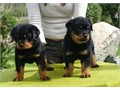 Kindly and cute Rottweiler puppies for sale Puppies Now Available for sale Kindly call or text us
