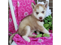 Siberian Husky PupsThey are Males and females and will make a perfect home additionAkc registere