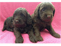 The Cali family is given out their lovely male and female puppies for caring homes These cuties are