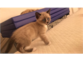 Adorable little Siamese kitten available Male litterbox trained healthy sweet playful and a big