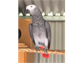 Male and female talking African grey birds for sale 80000 each with cage and p