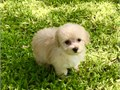 Precious babydoll face female tiny -toy Poodle 8 weeks old champagnecream color Has a thick cur