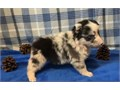 Australian Shepherd PupsThey are Male and Female Ready Now For Loving HomeAkc registered and vet c