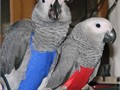 we are giving African Grey Male Female Medium  70000CONTACT US PLEASE ON 602 429 9325