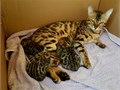 I have healthy Bengal Kittens available Two Females and one Male ready to go now at 8 weeks old Ho