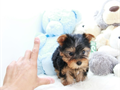 name Jingle Teacup Yorkie - FemaleDOB 02192016estimated size 4-5 poundsregistered on s