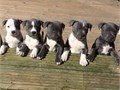 1 male and female left due to time waster ABKC Registered Pitbull puppies Please note that these pu