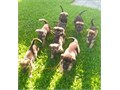 German Shepherd puppies 8 wks old 1st shots blktans beautiful coats very protective awesome f