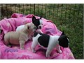 I have a litter of lovely French bulldogs with lots of BRINDLE in there beautiful coats  there pedi