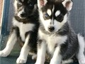 Gorgeous Siberian Husky Puppies9152576907Healthy 14 weeks old purebred Siberian Husky puppies f