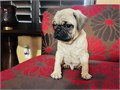 We have females and Males pug puppies ready to go to they forever family 8 weeks old very playful an