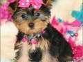 Cute and Adorable yorkie Puppies for Adoption Puppies awaiting new homes and families Our puppies