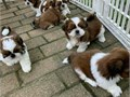 Top quality Male and Female shih tzu puppies100 Purebred Nice and Healthy V