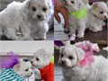 Micro Teacup Morkie puppies yorkie  maltese They are 8 weeks old and ready for new homes Theyl