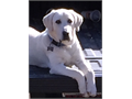 Stud Dog for Service 750 Proven White Lab 100 lbs Block Head Great Temperament 3 years old