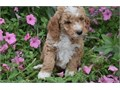 Glden ddle puppies up for adoption for more info and pics send text to 2132053543