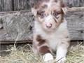 916 461-0326 australian shepherd puppies