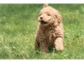 MINI GOLDEN DOODLE PUPPY FOR SALE ABSOLUTELY CUTE YOU WILL FALL IN LOVE WILL BE 25 POUNDS FULL GR