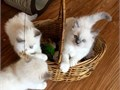 Composed trained Ragdolls Males and FemalesThey have been family raised with l