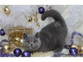 Devoted British SH CateOur cats are top quality and absolutely gorgeousthey are healthy adorable