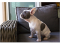 Female blue piebald french bulldog with blue mom and tri-color dad  AKC registered up to date on w