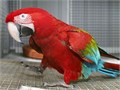Female Greenwinged Macaw in need of a loving home Very friendly and affectionate 9 months old Hom
