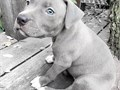 Blue Nose PitsAvailable in nowFather is a bullyOcean blue eyes