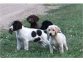 Excellent line of Hybrid Retriever puppies available Great w kids hikingWonderful personalities