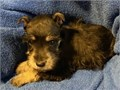 meek Miniature Schnauzer puppies availableThese puppies akc registered  vet checked and will come