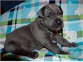 Akc Great Dane puppiesonly text  405  655 x 8366  for updated pictures and information about the p