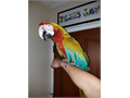 Beautiful Rare Tame Calico Macaw for 1800 comes with large cage Serious Inquiries Call or Text 5